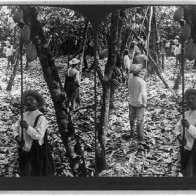 Stereograph of Harvesting Cacao in Ecuador