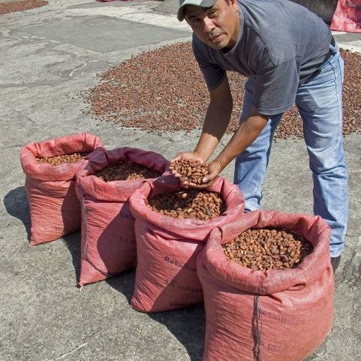 dry cacao