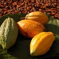 wild cacao pots 2