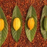 wild cacao pots