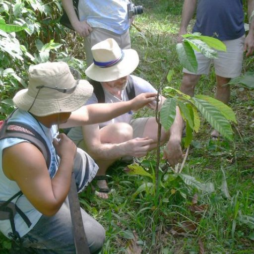Pruning a young cacao tree