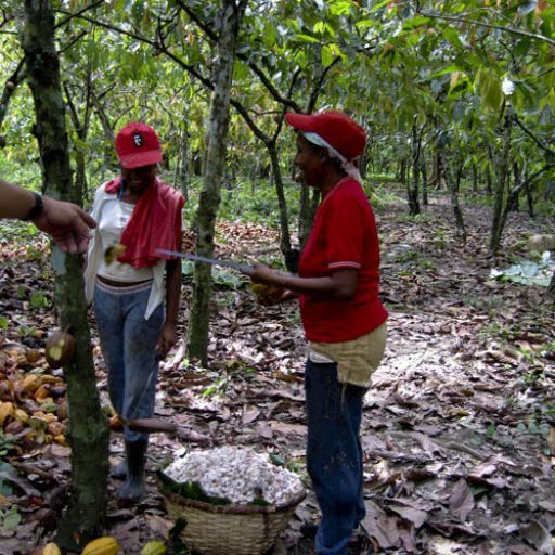Cacao_Barlovento_workers