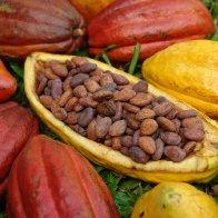 Criollo beans in huge hybrid pod
