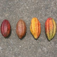 Selection of Cacao Pods From a Single Farm