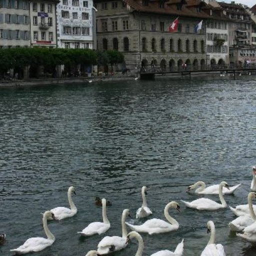 Luzern swans