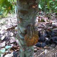 Natural Cacao