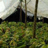 Cocoa nursery