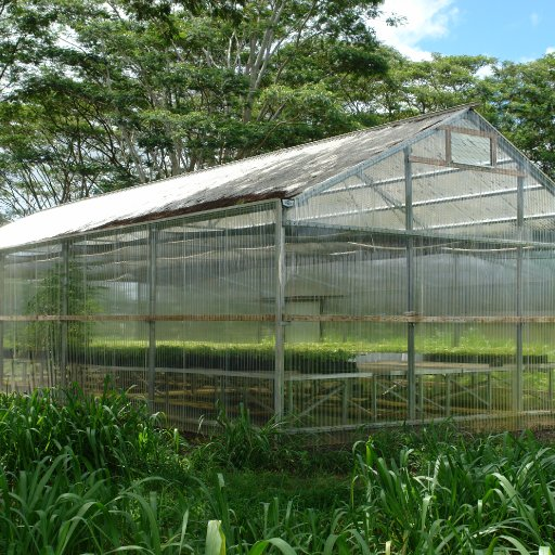 green house full of cacao