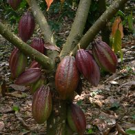 Finca-Los-Angeles-Cacao-22