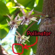 cacao pollinator
