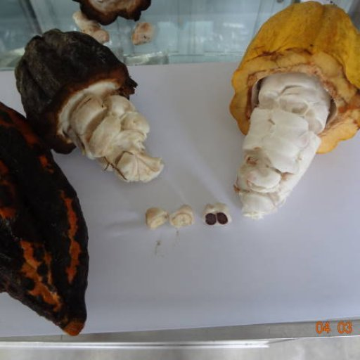 white & violet cacao fruits