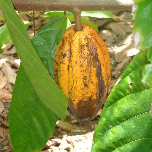 Cacao - Dominican Republic
