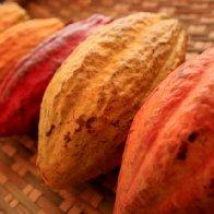 More Cacao Pods