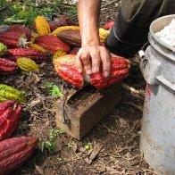 Nahua Costa Rica Braking Cacao Pods 1