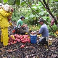 Costa Rica Braking Cacao Pods 2