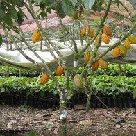 Costa Rica Cacao Tree B1clon