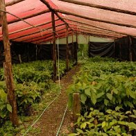 Costa Rica Cacao Tree Nursery 2