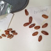ccn51 and nacional beans for planting