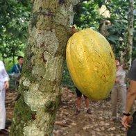 Paria cacao- Venezuela