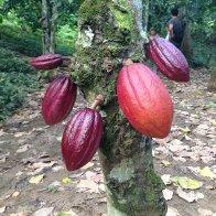 Paria cacao - Venezuela