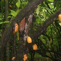 Very 1st photo of wild cacao pods  from North part of Brazil !!!!
